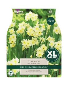 Taylor's Bulbs Minnow Narcissus Bulbs - Pack of 35