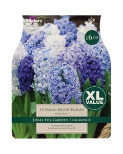 Taylor's Bulbs Ocean Breeze Fusion Hyacinth Bulbs - Pack of 12