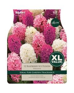 Taylor's Bulbs Raspberry Ice Fusion Hyacinth Bulbs - Pack of 12