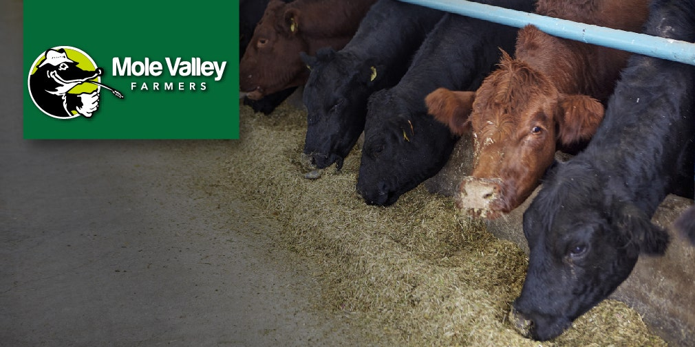 balancing nutrients for your beef herd