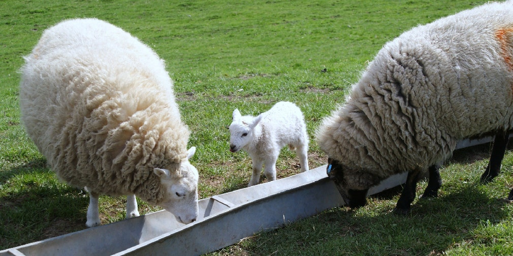 DUP for in-lamb ewes