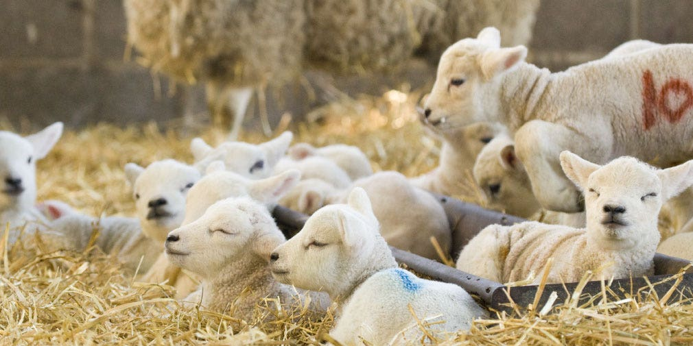 Focus on four key areas to maximise lamb survival