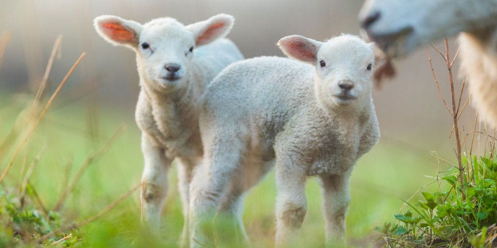 Managing trace element status of your weaning lambs
